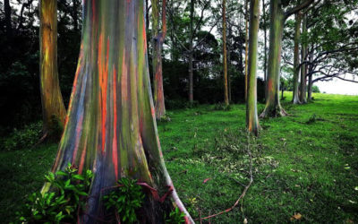 El más viejo, el más alto… Estos son los árboles más curiosos